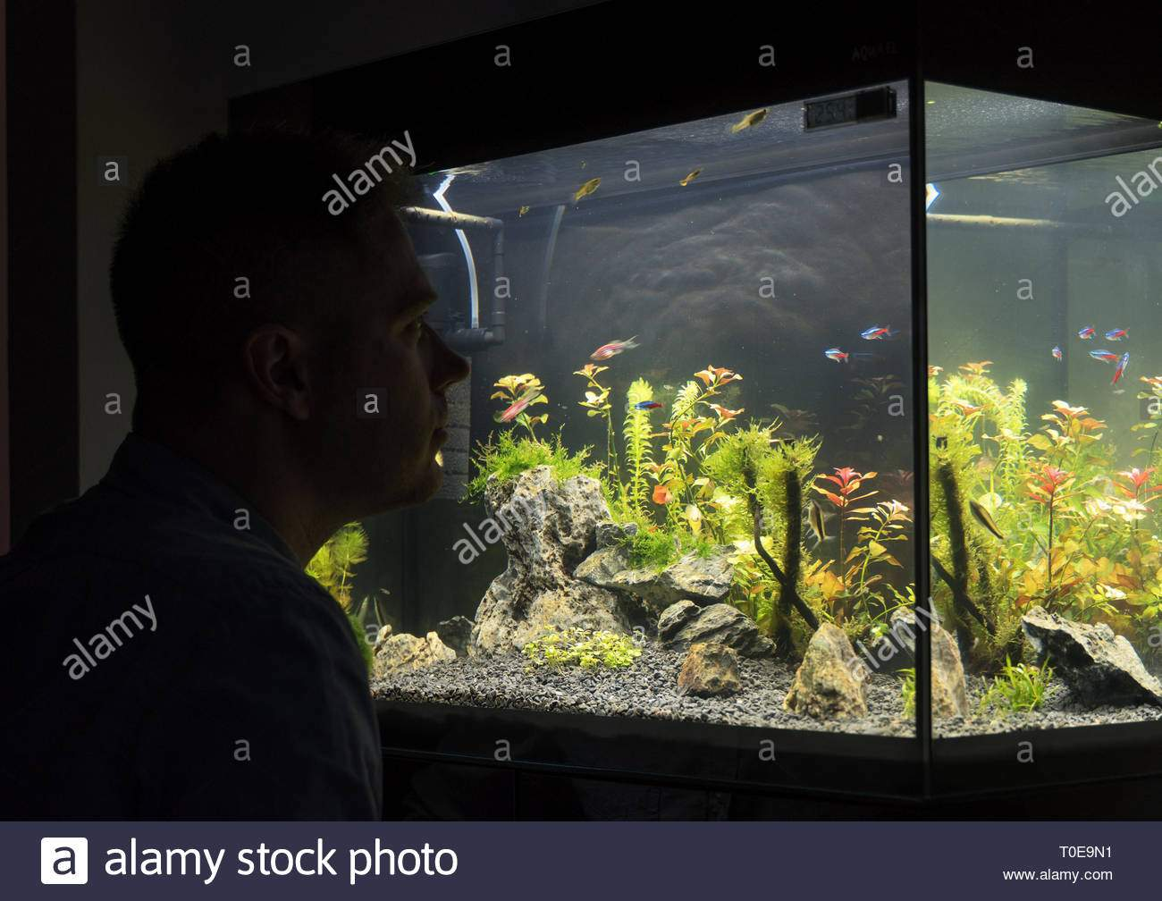 handsome man looks at the fish in the aquarium at home T0E9N1