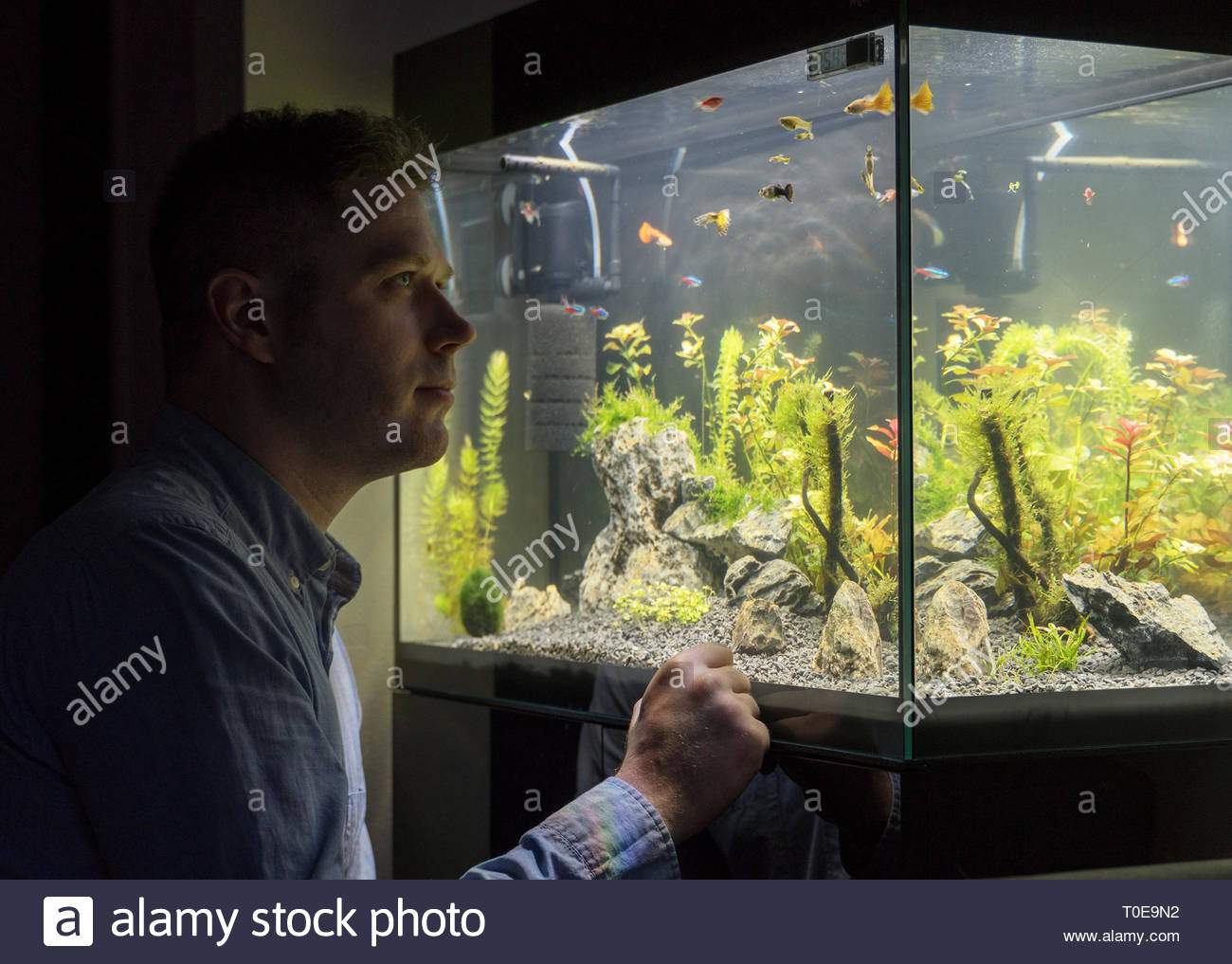 handsome man looks at the fish in the aquarium at home T0E9N2